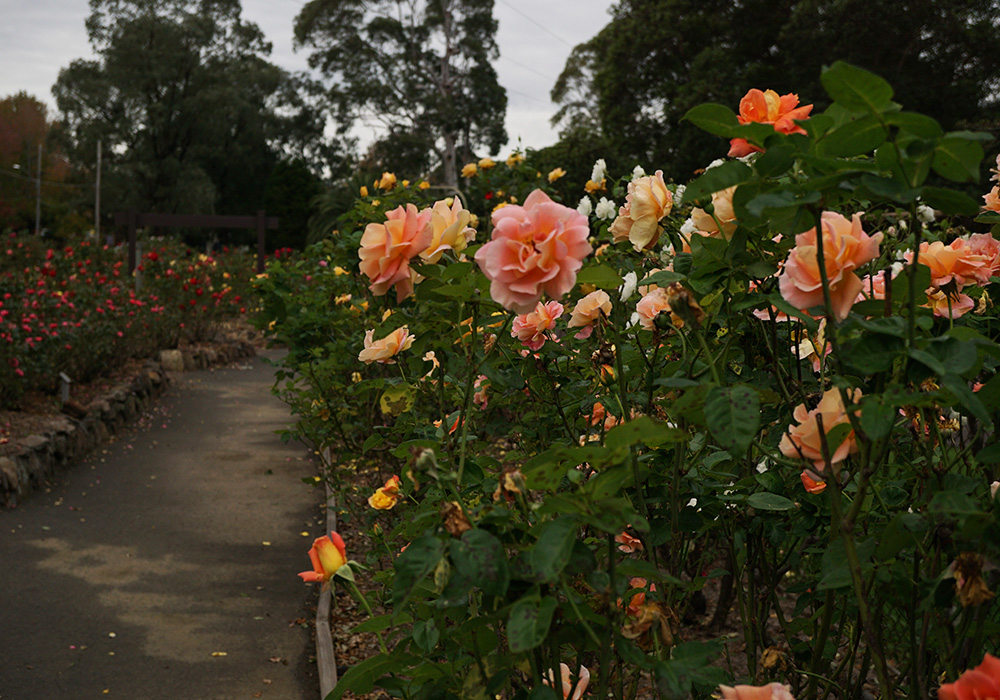 Roxborough Park Rose Garden, Baulkham Hills